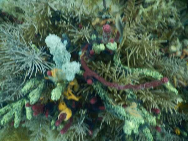 Koraller 6